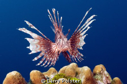 More Lionfish action in Roatan by Larry Polster 